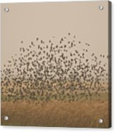 A Flock Of Birds Swarming A Field Acrylic Print