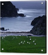A Flock Of Sheep Graze On Seaweed Acrylic Print