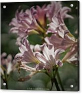 Peppermint Surprise Lily - A Floral Abstract Acrylic Print