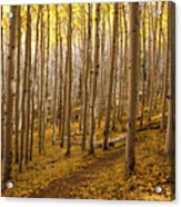 A Forest Of Aspens Acrylic Print