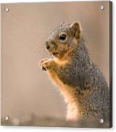 A Fox Squirrel Sciurus Niger Finds Acrylic Print by Joel Sartore