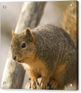 A Fox Squirrel Sciurus Niger Perches Acrylic Print