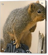 A Fox Squirrel Sciurus Niger Sits Acrylic Print