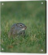 A Free-roaming Ground Squirrel At Omaha Acrylic Print