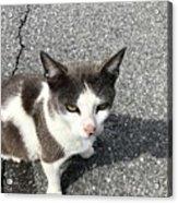 A Friendly Barn Cat Acrylic Print
