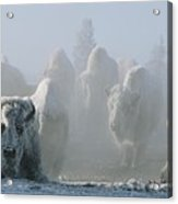 A Frost-covered Herd Of American Bison Acrylic Print by Tom Murphy