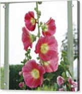 A Garden Greenhouse - Hollyhock Acrylic Print