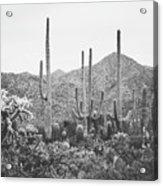 A Gathering Of Cacti Acrylic Print