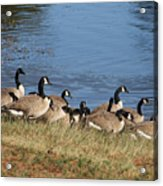 A Gathering Of Geese Acrylic Print