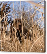 A German Shetland Searches For Pheasant Acrylic Print