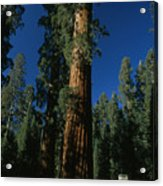 A Giant Sequoia Tree Towers Acrylic Print
