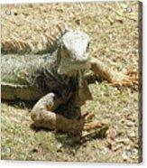 A Glaring Common Iguana On Aruba's Wild Side Acrylic Print