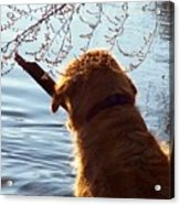 A Golden Retriever And His Stick Acrylic Print