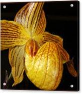 A Golden Slipper Acrylic Print