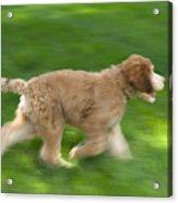 A Goldendoodle Puppy Runs Acrylic Print by Joel Sartore