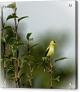 A Goldfinch In A Pear Tree Acrylic Print