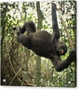 A Gorilla Swinging From A Vine Acrylic Print by Michael Nichols