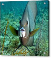A Gray Angelfish In The Shallow Waters Acrylic Print by Michael Wood