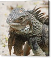 A Gray Iguana With Spines Along It's Back Acrylic Print