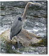 A Great Blue Heron At The Spokane River 3 Acrylic Print
