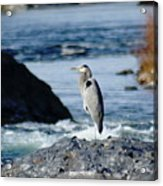 A Great Blue Heron At The Spokane River Acrylic Print