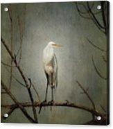 A Great Egret Acrylic Print