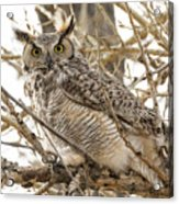 A Great Horned Owl's Wide Eyes Acrylic Print