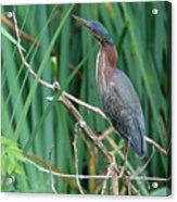 A Green Heron By The Canal Acrylic Print