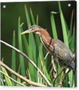 A Green Heron Stalks Prey Acrylic Print