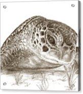 A Green Sea Turtle In Earthtones Acrylic Print