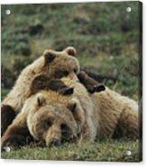 A Grizzly Bear Cub Stretches Acrylic Print