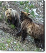 A Grizzly Moment Acrylic Print