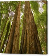 A Group Giant Redwood Trees In Muir Woods,california. Reaching F Acrylic Print