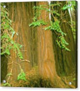 A Group Giant Redwood Trees In Muir Woods,california. Acrylic Print