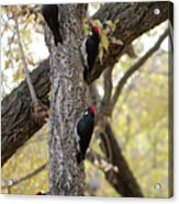 A Group Of Acorn Woodpeckers In A Tree Acrylic Print