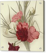 A Group Of Clove Carnations Acrylic Print