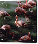 A Group Of Flamingos At The Folsom Acrylic Print