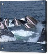 A Group Of Humpback Whales Bubble Net Acrylic Print by Ralph Lee Hopkins