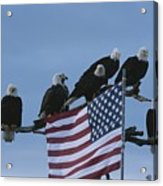 A Group Of Northern American Bald Acrylic Print