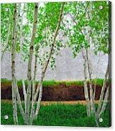 A Grove Of Birches 2 Acrylic Print