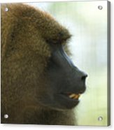 A Guinea Baboon At The Lincoln Acrylic Print