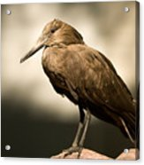 A Hammerkop At The Lincoln Childrens Acrylic Print