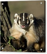 A Hand-raised Badger At The Home Acrylic Print