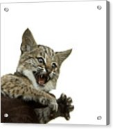A Hand-raised Bobcat Reacts As Its Held Acrylic Print