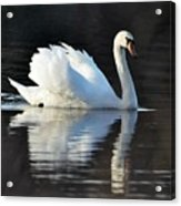 A Happy Swan Acrylic Print