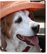 A Hat For Buddy Acrylic Print