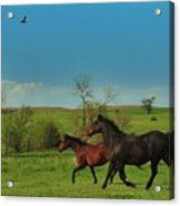 A Hawk And Horses In Kansas Acrylic Print