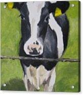 A Heifer Acrylic Print