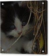 A Hiding Kitten Acrylic Print