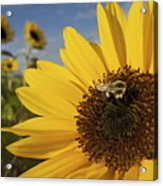 A Honey Bee Visiting A Sunflower Acrylic Print by Tim Laman